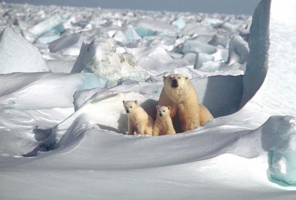 Polar Bears inhabit the Arctic Circle