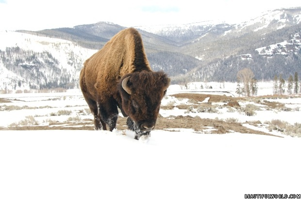 bison-in-snow-yellowstone