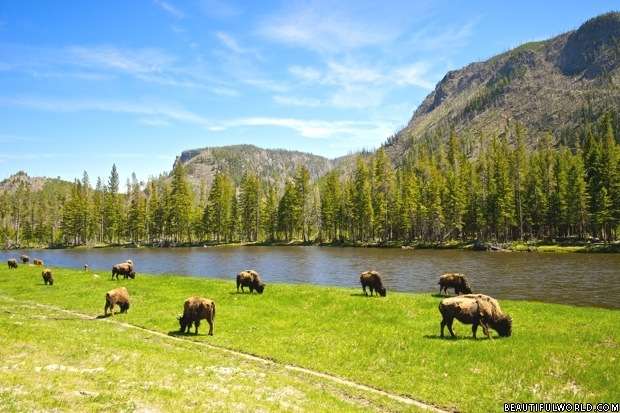 buffalo-yellowstone-national-park