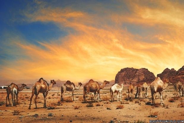camels-wadi-rum