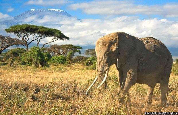 elephant-mount-kilimanjaro