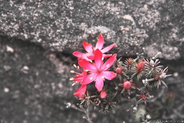 ericaceae-mount-roraima