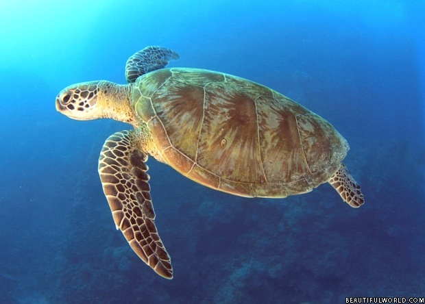 giant-turtle-great-barrier-reef