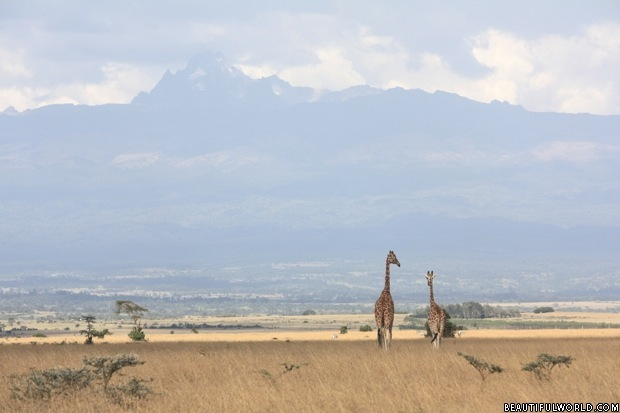 giraffes-with-mount-kenya-in-background