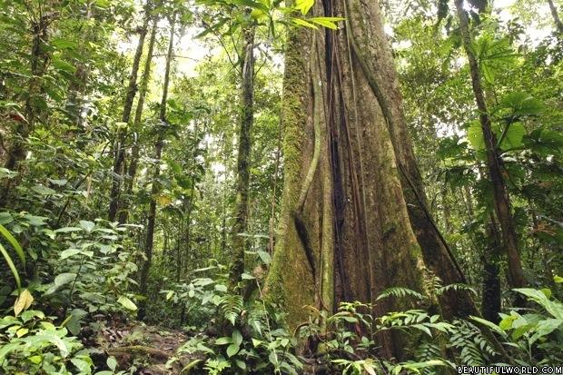 large-tree-amazon-rainforest