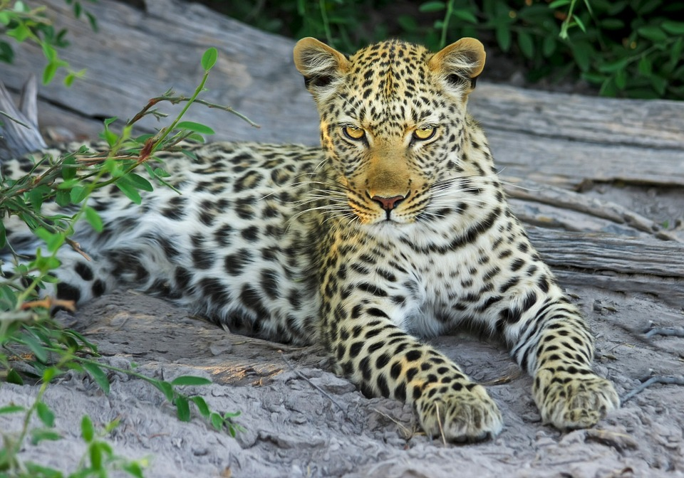 leopard-515508_960_720