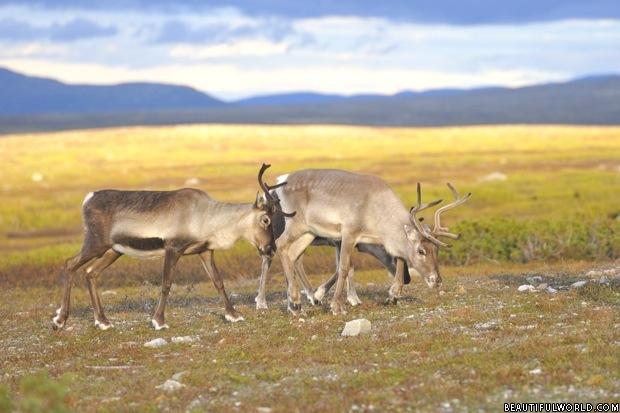 reindeer-denali-national-park