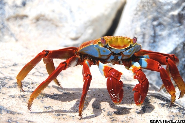 sally-lightfoot-crab-galapagos