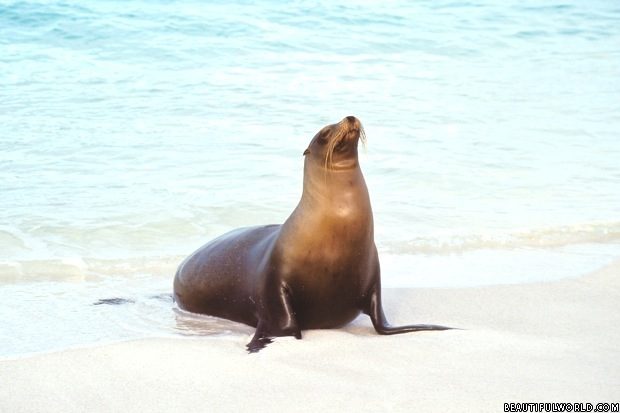 sea-lion-gardner-bay-galapagos