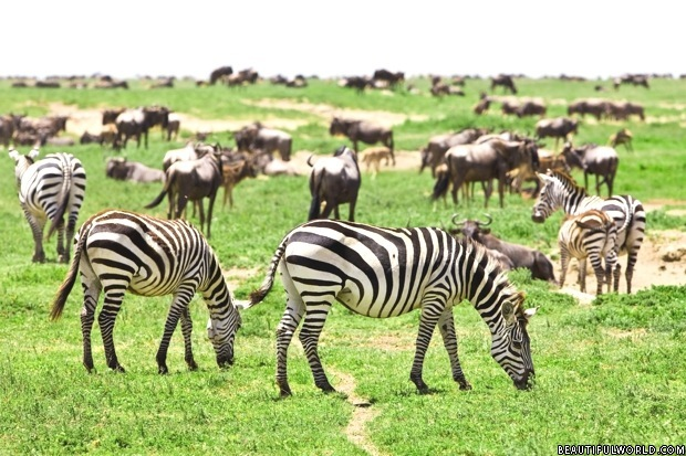 zebras-serengeti-national-park