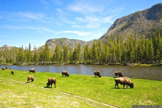 buffalo-yellowstone-national-park