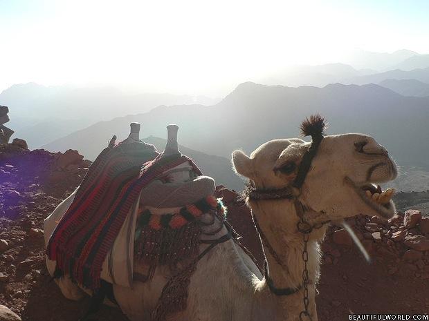 camel-mount-sinai