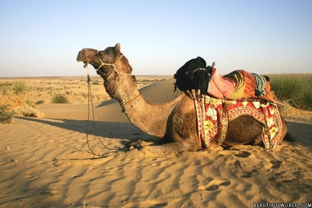 camel-thar-desert