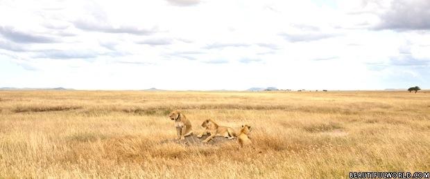 lioness-serengeti-national-park
