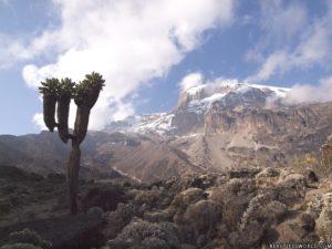 mount-kilimanjaro-giant-lobelia