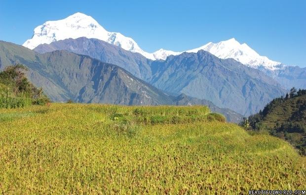 paddy-field-dhaulagiri