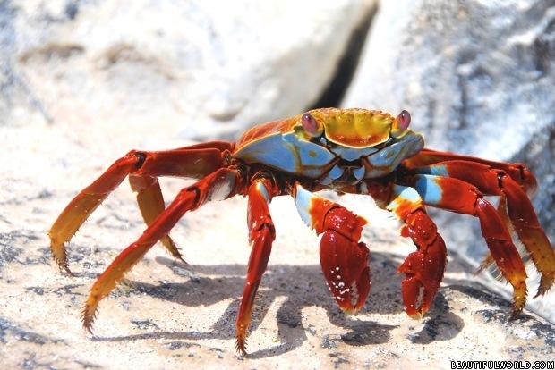 sally-lightfoot-crab-galapagos