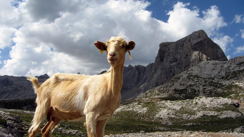 Picos De Europa Goat