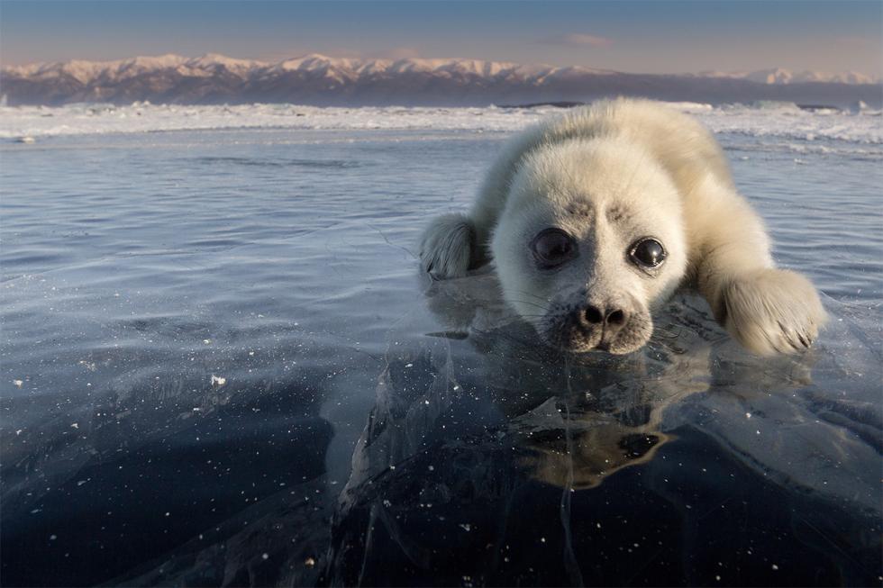Baikal freshwater seal