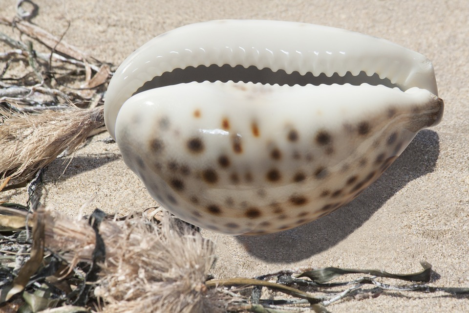 A Cowrie Shell